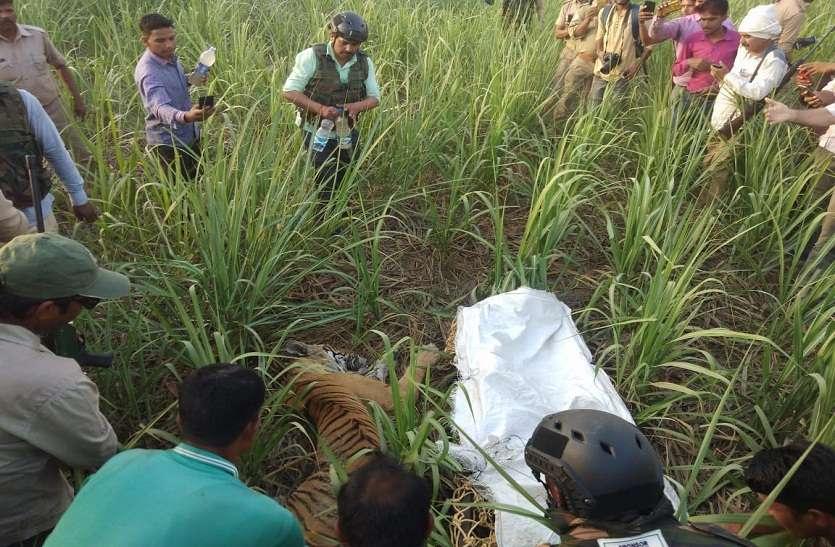 वन विभाग को मिली कामयाबी, पकड़ा गया इंसानों पर हमला करने वाला बाघ