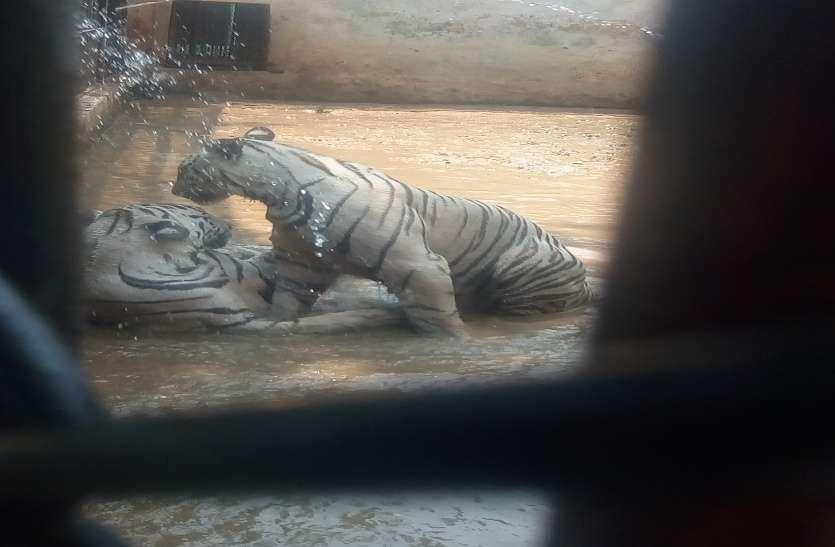 यहां बाघों को तंदरुस्त रखने खुराक पर खर्च किया जाता है 1.30 करोड़