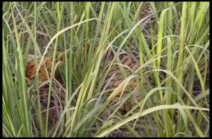 पीलीभीत में टाइगर की दहशत, खेत में काम कर रहे किसान पर किया हमला