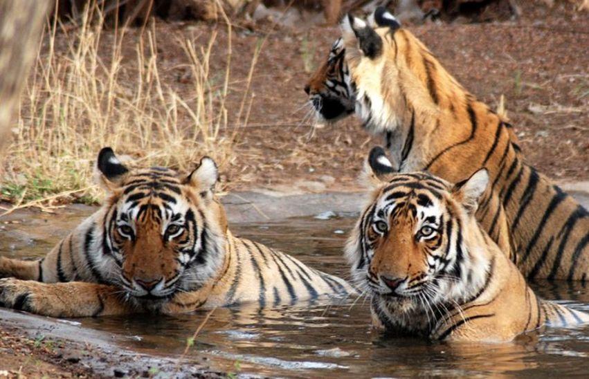 मुकुन्दरा में बाघों की दहाड़ से घड़कता है ग्रामीणों का दिल...