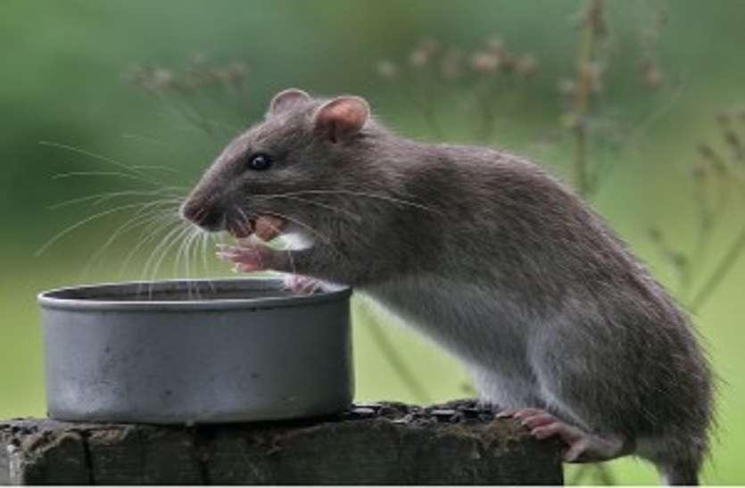 मोक्ष पाने यहां चूहे पीते है गंगाजल, तीन महीने में अब तक पी चुके 21 बोतल