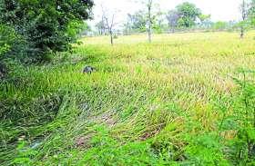 बदलते मौसम से किसानों की बढ़ी मुश्किलें, तेज हवाओं से धान की फसलों को हो रहा नुकसान