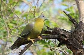 जयपुर में एक बरगद का पेड़ जहां एक साथ रहते हैं 25 प्रजाती के पक्षी