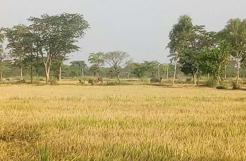 महासमुंद में आतंक मचाने के बाद धमतरी पहुंचा जंगली हाथियों का दल, ग्रामीणों में दहशत