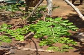 कुपोषण से निपटने कारगर है इस पेड़ का फल फूल पत्ती व तना,गाजर दूध व संतरे से ज्यादा उपयोगी तत्व है मौजूद