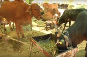 महाराष्ट्र में सूखे की मार झेल रहे मवेशियों के लिए बनाया गया चारा शिविर, देखें VIDEO