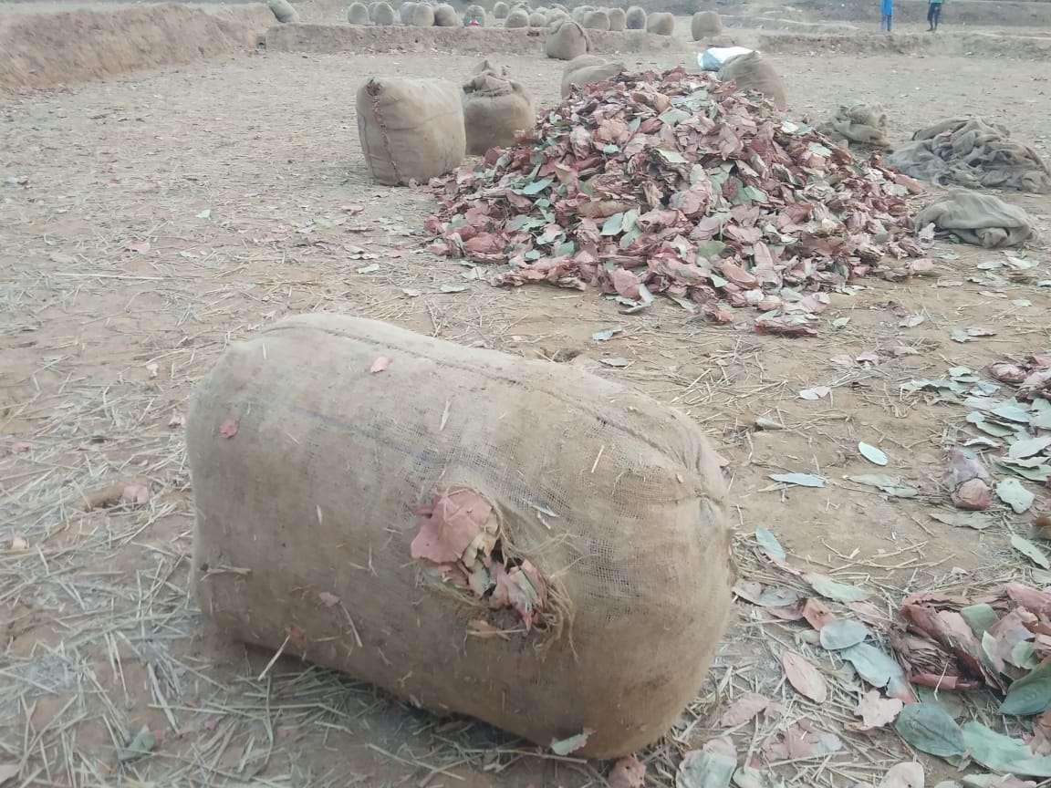 रात भर तेंदुपत्ता के बोरे को हाथियों ने फुटबाल की तरह खेला, नुकसान से बचने डीएफओ ने सुबह किया ये काम...