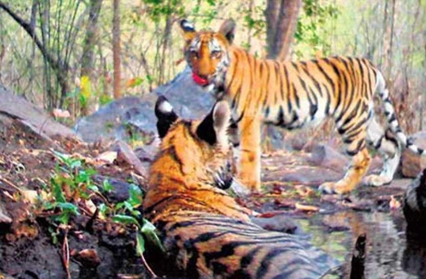 संजय टाइगर रिजर्व में तीन वर्ष में बाघों की वंशवृद्धि पर संशय, प्रबंधन डाल रहा पर्दा