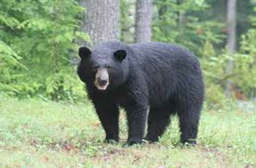 जंगल में लकड़ी लेने गए पति-पत्नी सहित ग्रामीण पर भालू ने किया हमला, एक की मौत