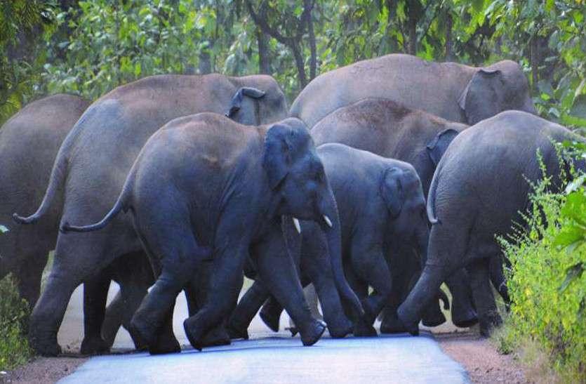 आसपास मंडरा रहा हाथियों का दल, फिर भी तेंदूपत्ता संग्रहण का चल रहा काम