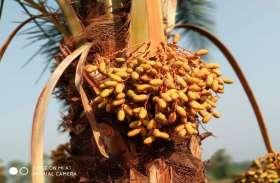 जिस पेड़ के रस से बनता है मादक पदार्थ, उसी रस से इस समुदाय के लोग बना लेते हैं खास प्रकार का मीठा पदार्थ