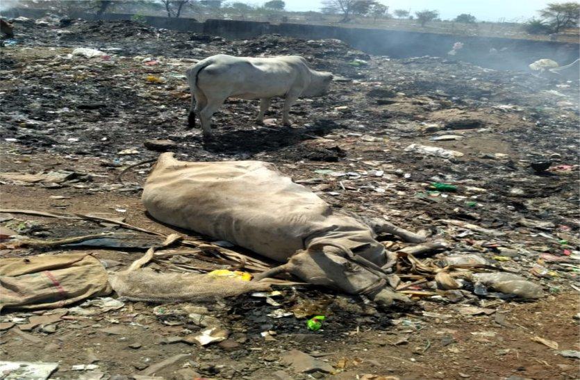 video: यहां ट्रेचिंग ग्राउंड में कचरे के साथ जल रही मृत मवेशी, आसपास के लोगों का सांस लेना हुआ दूभर