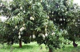 जिले में 8 सरकारी नर्सरी में आम का बंफर उत्पादन, 12 लाख 29 हजार रुपए में बिके