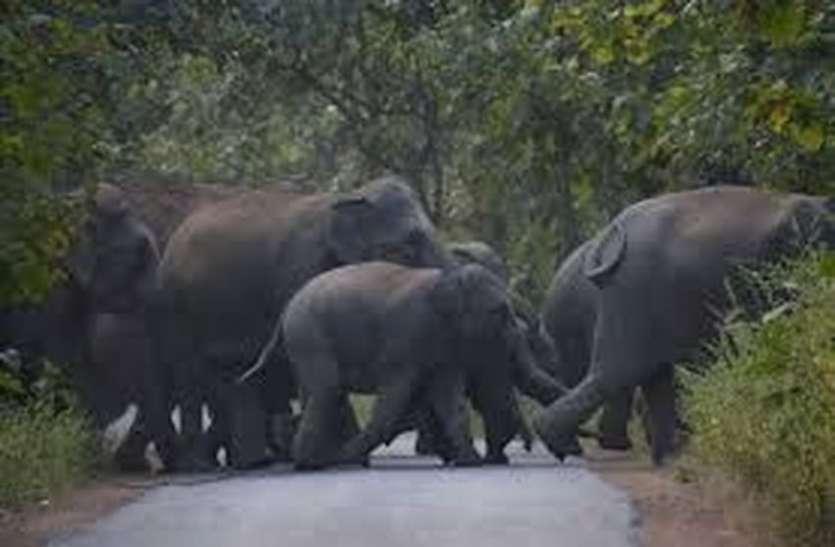 इंसान और जंगली हाथियों की रणभूमि में तब्दील कोडुगू !!!