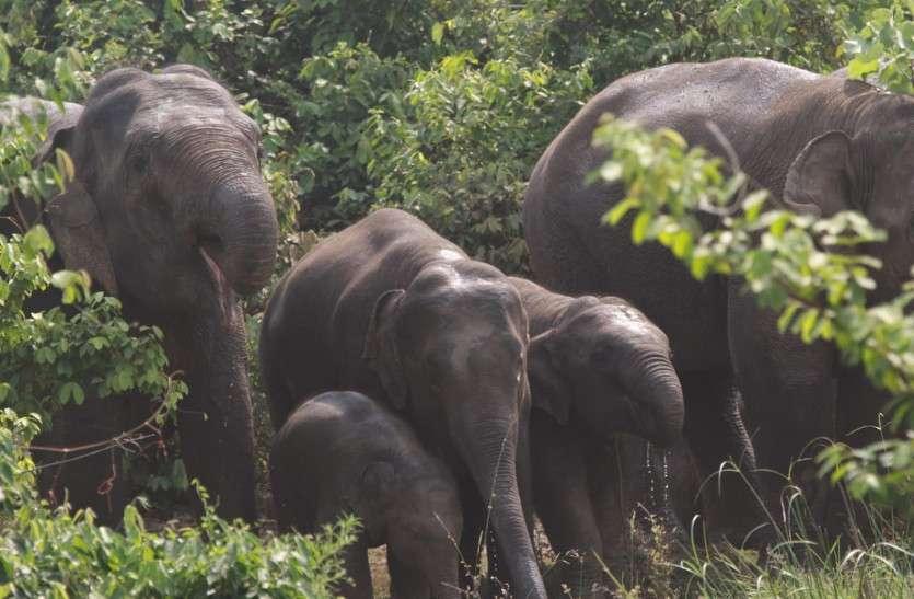जंगली हाथियों के आतंक के बीच छत्तीसगढ़ में रखे जा रहे हाथी के बच्चों के नाम