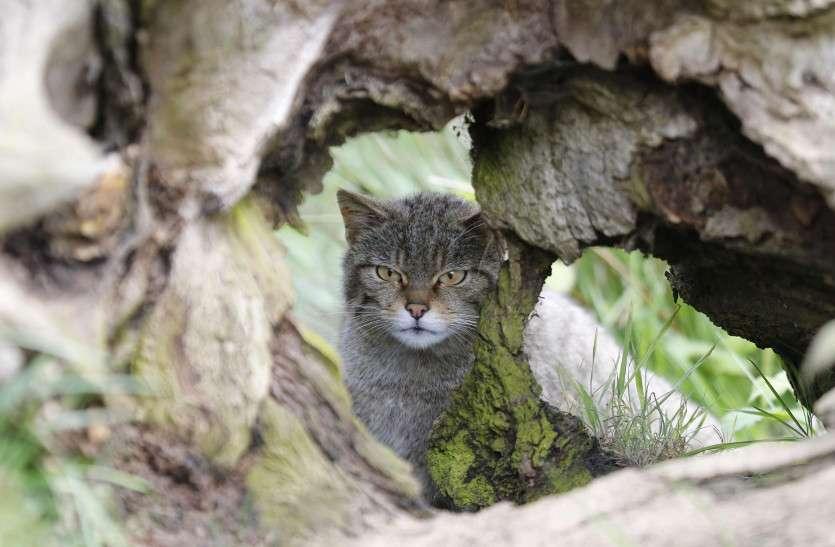 ब्रिटेन फिर सूचीबद्ध करेगा बिल्लियों की तीन प्रजातियां