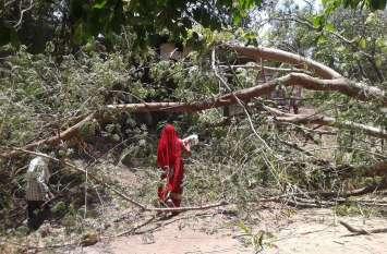 फिर एक विशालकाय पेड़ गिरा,गनीमत रही कोई हताहत नहीं हुआ