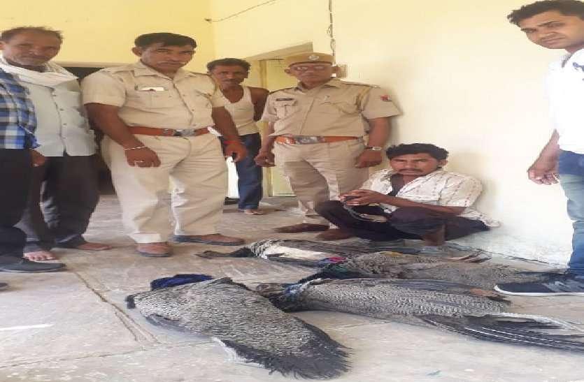ग्रामीणों ने पकड़ा राष्ट्रीय पक्षी मोर का शिकारी