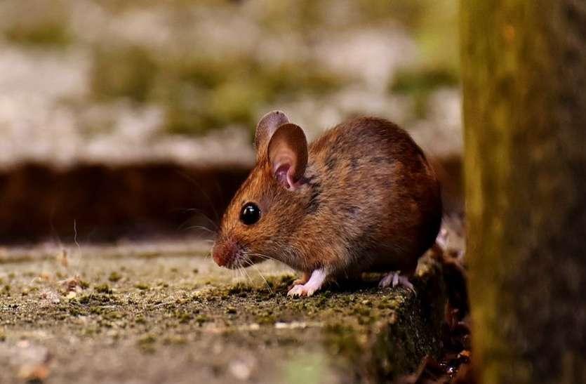पिंजरों को चकमा दे गए चूहे, दवा ही काम आई