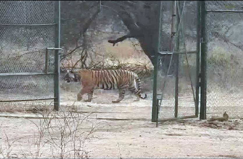 टाइगर टी-24 की शिफ्टिंग से कुंभलगढ़ में बढ़ेंगे पर्यटक, सैलानी दुर्ग की छत से निहार सकेंगे टाइगर को