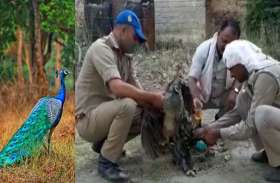तारकोल के ड्रम में फंसे राष्ट्रीय पक्षी की यूपी पुलिस के दो सिपाहियों ने बचायी जान, पुलिस प्रशासन जल्द करेगा सम्मान, देखें वीडियो