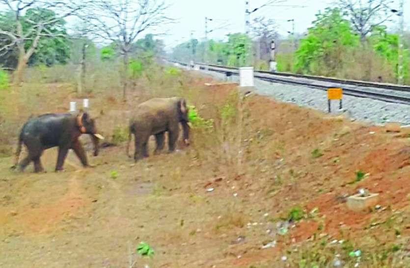 जंगल के रास्ते गांव में पहुंचे दो जंगली हाथी, ग्रामीणों के खेतों को कर रहे तबाह