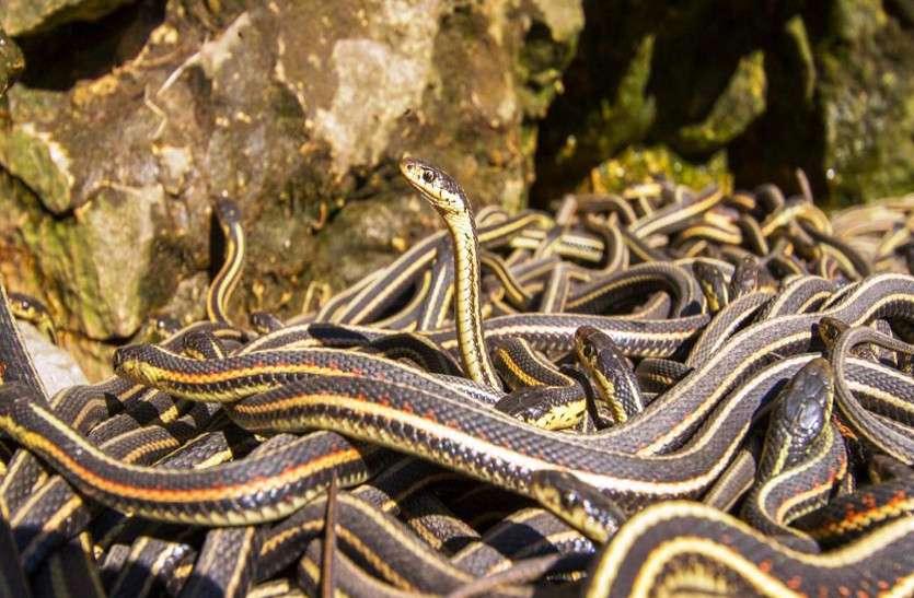 छत्तीसगढ़ में है धरती का नागलोक, जहां एक साथ देखने मिलेंगे सांपों की 70 से ज्यादा प्रजातियां