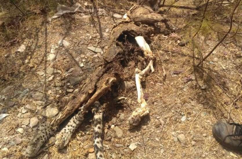 जंगल में मिला तेंदुए का शव, भूख व प्यास से मरने की आशंका