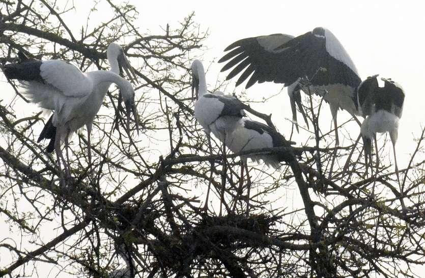 मानसून का इतंजार, दूतों ने दी केवलादेव राष्ट्रीय उद्यान में दस्तक