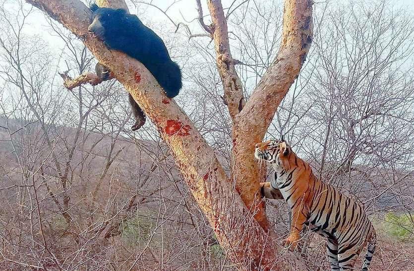 मुसीबत में भालू, फिर भी डर गया बाघ, देखें वीडियो