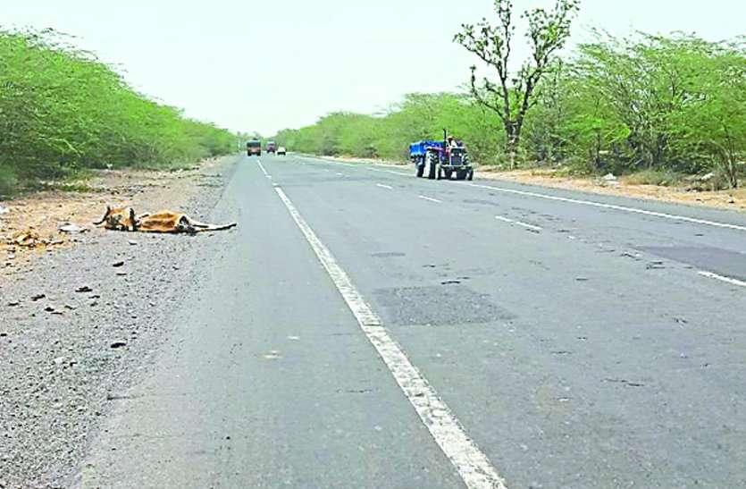 वाहनों की टक्कर से मरता पशुधन, समय पर नहीं उठाने से और हादसों की आशंका, वाहन चालकों की जान रहती जोखिम में