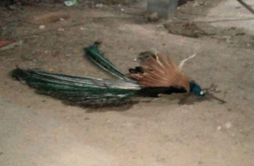 Video:करंट से राष्ट्रीय पक्षी मोर की मौत