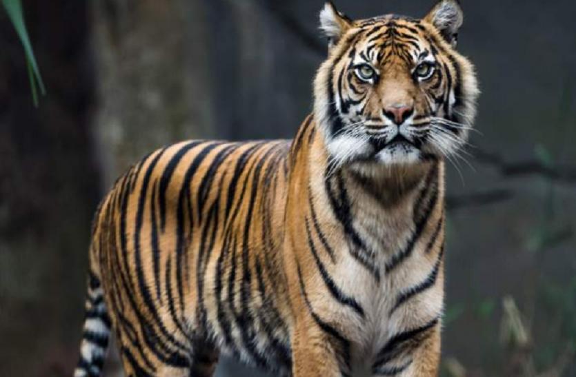 रणथम्भौर : बाघों की राह में रोडा लगाने वाली सड़क में लगा सरकार का रोडा