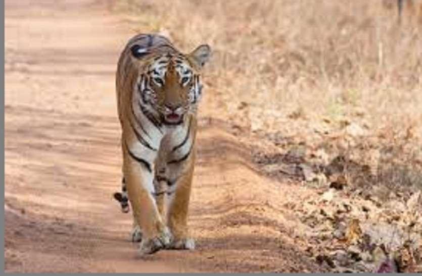 एक्सप्रेस वे में प्रस्तावित मार्ग से पूर्व में भी मुकुंदरा पहुंचे है बाघ