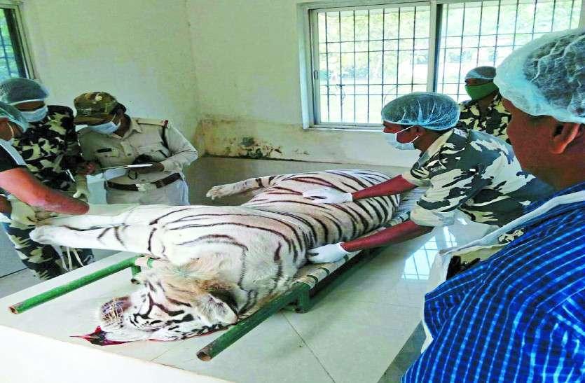 कानन पेंडारी के सफेद बाघ विजय की मौत सांप काटने से नहीं हार्ट अटैक से हुई