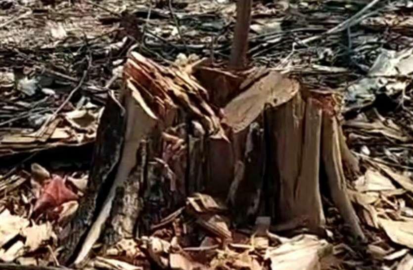 पन्ना टाइगर रिजर्व में कट गए 600 से अधिक पेड़ और अधिकारियों को भनक तक नहीं लगी