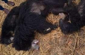 पानी की तलाश में निकले तीन भालुओं की करंट से हुई मौत, वन विभाग में मचा हड़कंप