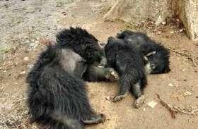 करंट की चपेट में आने से तीन प्यासे भालुओं की दर्दनाक मौत, देखिए वीडियो