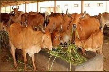 प्रदेश में एक डॉक्टर करता है साढ़े 18 हजार पशुओं का इलाज