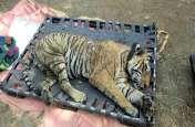 Sariska Tiger Death : जल्द सामने आ सकता है Tiger St-16 की मौत का सच, लापरवाही की जांच करेंगे वरिष्ट IAS अधिकारी