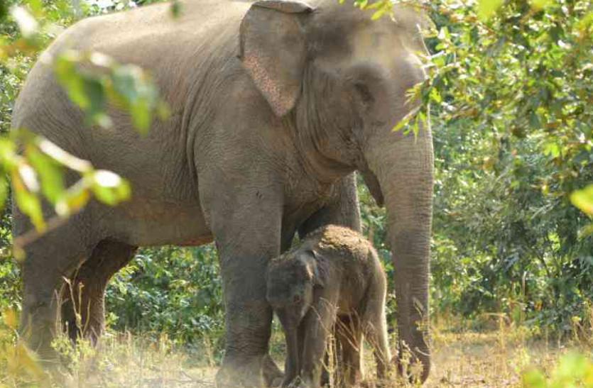 पहली बार झुंड में एक साथ दिखे सात बेबी ऐलीफेंट, पढि़ए क्यों भा रहा हाथियों को कोरबा का जंगल