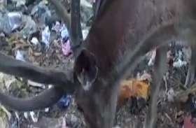 VIDEO सांभर के कचरा खाते का विडियो वायरल