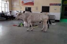 video ये सरकारी अस्पताल है या गायों का तबेला