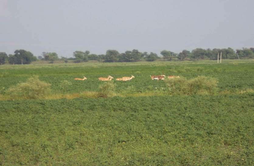 सरकार व वन विभाग बेपरवाह, हरिणों की कुलाचों से किसान 'आहत'