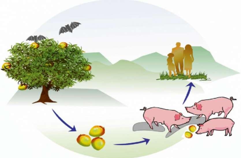 Nipah virus : सावधान! सूअरों से रहें दूर, देखकर खाएं फल