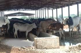 इस गौशाला में हो चुकी है 600 गौवंशों की मौत, जानवर नोच कर खा रहे मांस, प्रशासन मौन