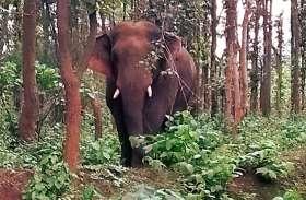 Elephant : डोरी बिन रहे ग्रामीण को हाथी ने उठाकर पटका, सिर को कुचलकर मारा, दूसरे ने पेड़ पर चढक़र बचाई जान