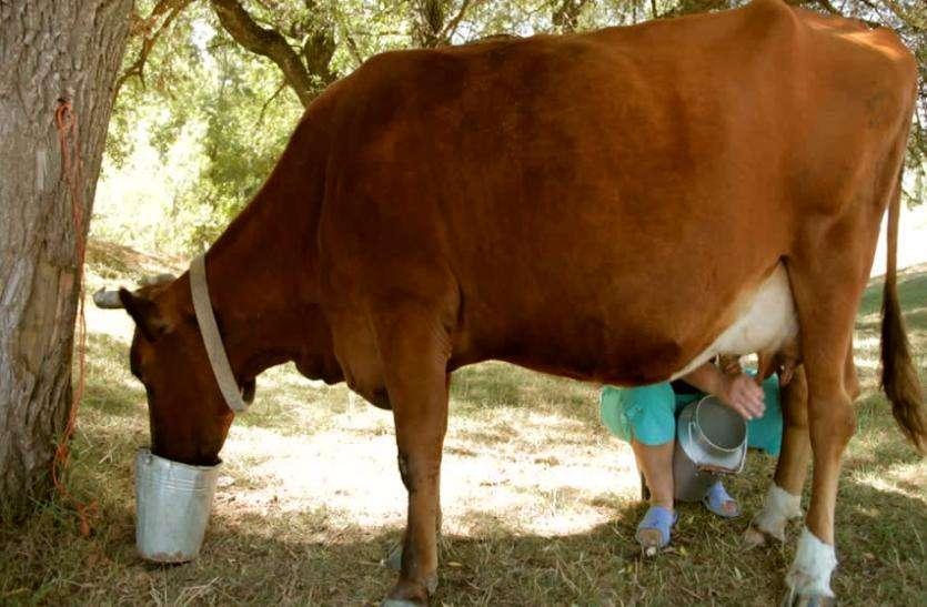 आबादी बढ़ी, पशु घटे फिर भी दूध की बम्पर आवक