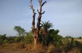 टूटने की कगार पर विशालकाय वृक्ष, अंधाधुंध हो रही वृक्षों की कटाई से ग्रामीणों में आक्रोश