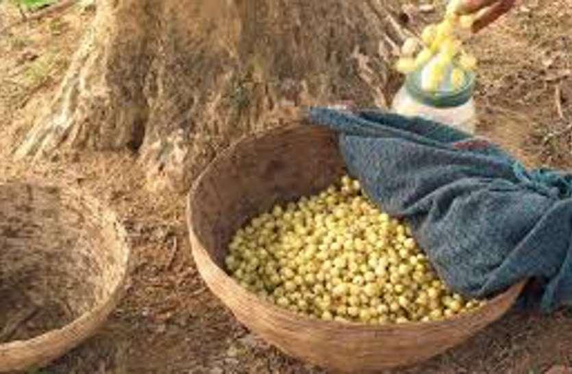 प्रदेश में सरकार बदलते ही 12 वनोपज प्रजातियों की खरीदी रुकी, ये है सबसे बड़ी रुकावट